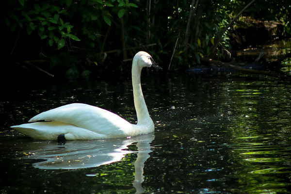Swan in a Lake