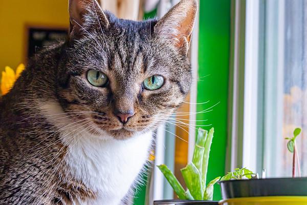 Closeup of a Tabby Cat