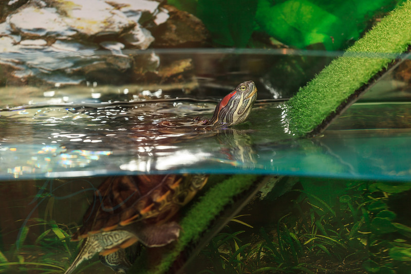 A close up view of a red ear slider water turtle in water tank