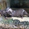 A caring mother Otter