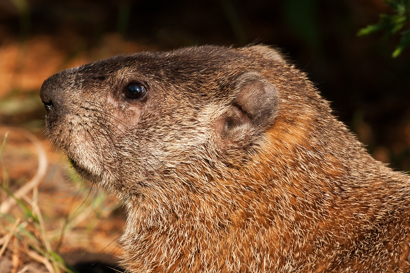 Ground-hog in Montreal, August 2010.