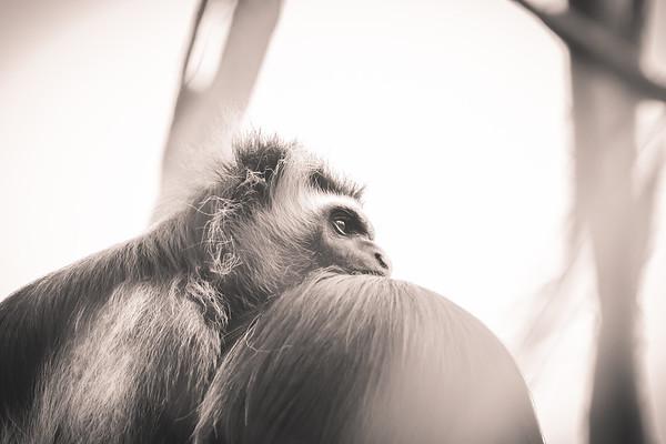 Pensive Monkey in Sepia
