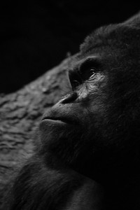 Pensive Gorilla in Black and White
