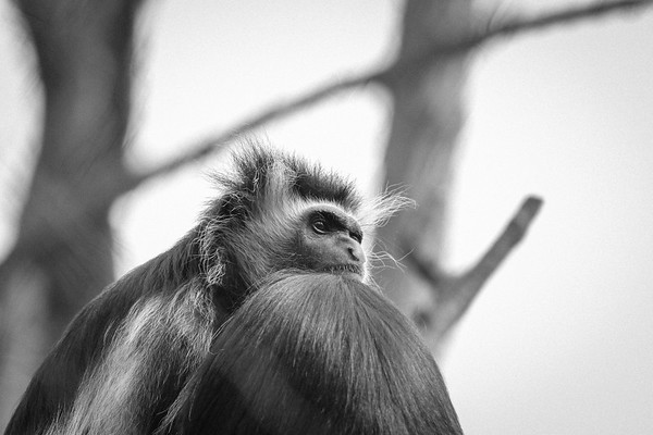 Pensive Monkey in Black and White