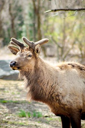 Roosevelt Elk Deer