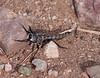 RobberFly Tucson_10-10-25_IMG_2621