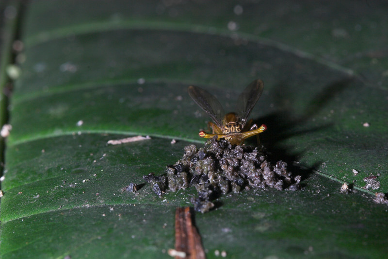 Stalk-eyed fly (1)-01