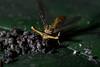 Stalk-eyed fly (12)-01