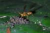 Stalk-eyed fly (5)-01