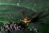 Stalk-eyed fly (6)-01
