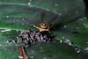 Stalk-eyed fly (4)-01