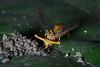Stalk-eyed fly (18)-01