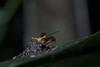 Stalk-eyed fly (8)-01