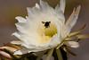 CactusFlwr BotGard_7I2B6796_2011-06-20-10-27-12