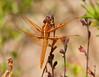 DragonFly BotGard_7I2B6446_2011-05-24-10-00-05