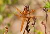 DragonFly BotGard_7I2B6449_2011-05-24-10-00-18