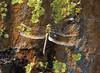 Dragonfly Sequioa_08-09-20_IMG_0248