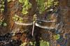 Dragonfly Sequioa_08-09-20_IMG_0249