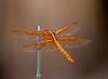 Dragonfly Tucson_10-10-23_IMG_2242