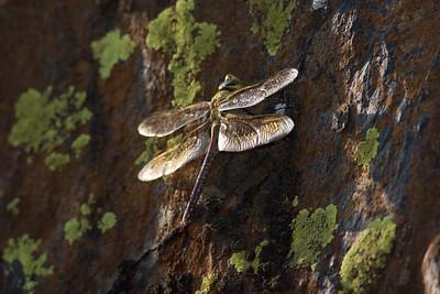 Dragonfly Sequioa_08-09-20_IMG_0254