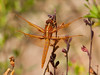DragonFly BotGard_7I2B6453_2011-05-24-10-00-36