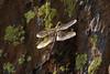 Dragonfly Sequioa_08-09-20_IMG_0257