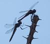 Dragonflys Tucson_10-10-28_7I2B2561