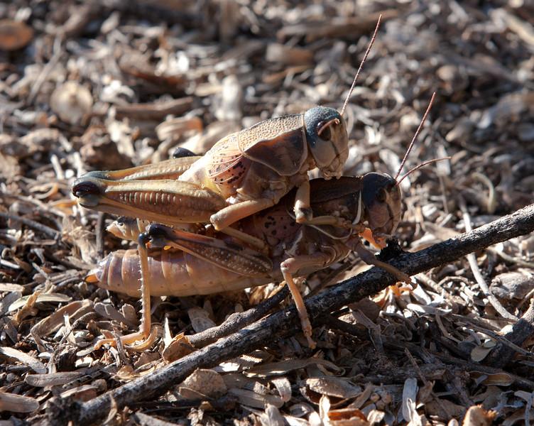 Grasshopper Tucson_10-10-24_IMG_2495