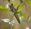 Grasshopper Tucson_10-10-25_IMG_2542