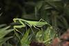 Mantis (5)
