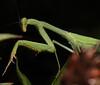 Mantis (3)