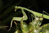Mantis (2)