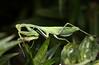 Mantis (6)