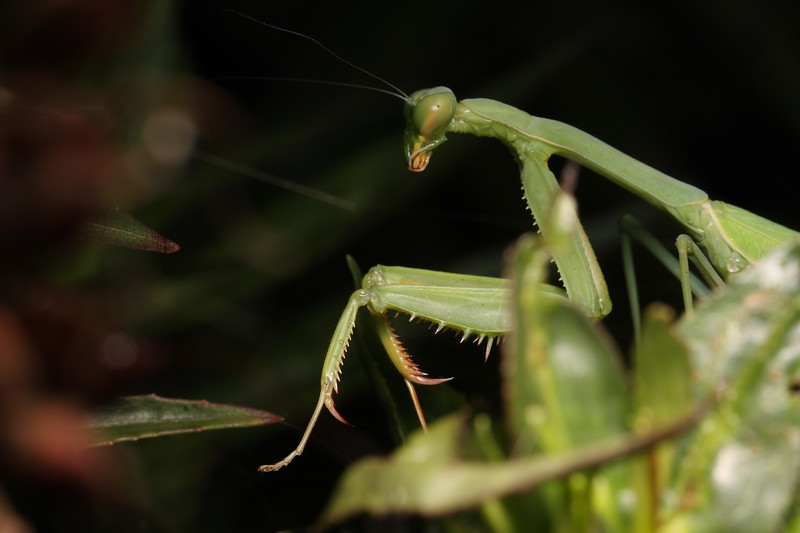 Mantis (1)