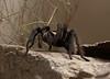 Tarantula Tucson_10-10-23_IMG_2187