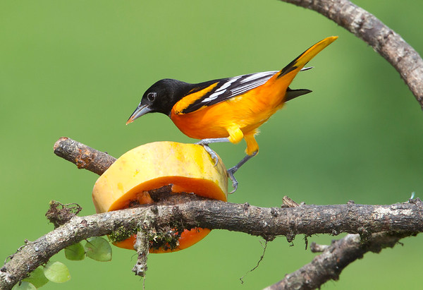 BaltimorOriole+EcoObservatory_-2277919345-O