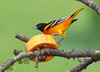 BaltimorOriole+EcoObservatory_-2277919292-O