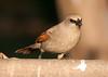Bay-Winged+Cowbird+Pant_06-08--574851532-O