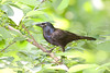 CommonGrackle_CentPark_09-07-1-602259697-O