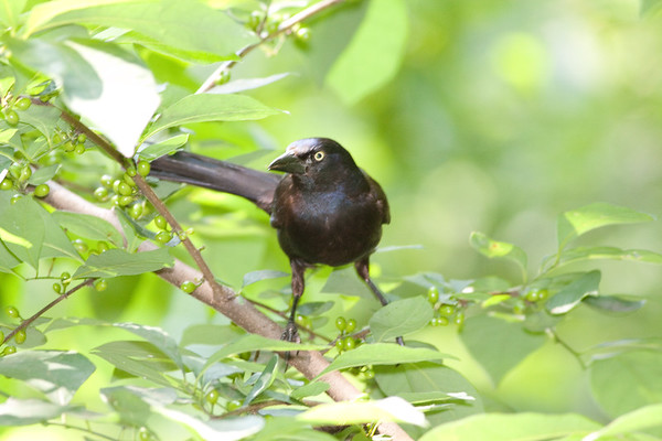CommonGrackle_CentPark_09-07-1-602259222-O