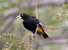 Golden-Winged+Cacique_06-08-15-574855607-O