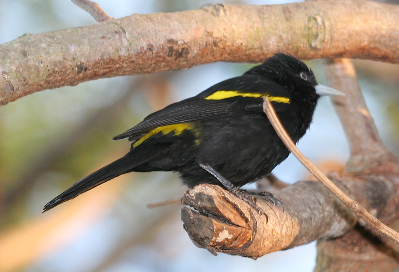 Golden-winged+cacique_151_08-0-574855645-O