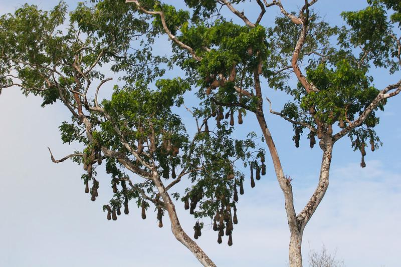 oropendula+nests+%281%29_CostaRica-574877071-O