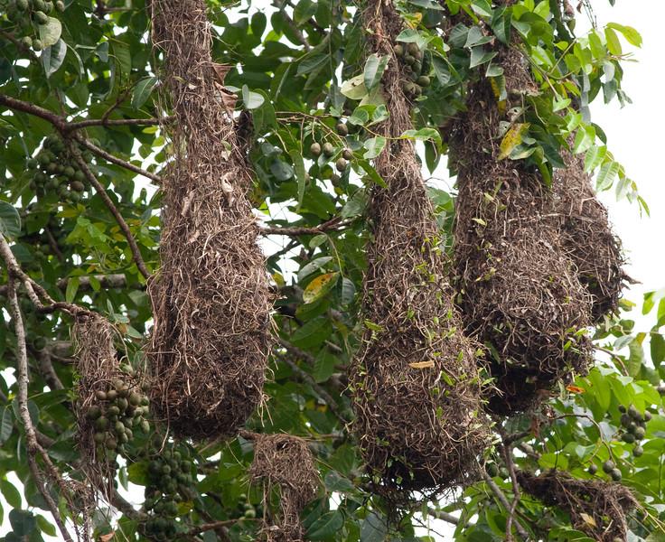 oropendula+nest_07-08-07_0002-574877037-O