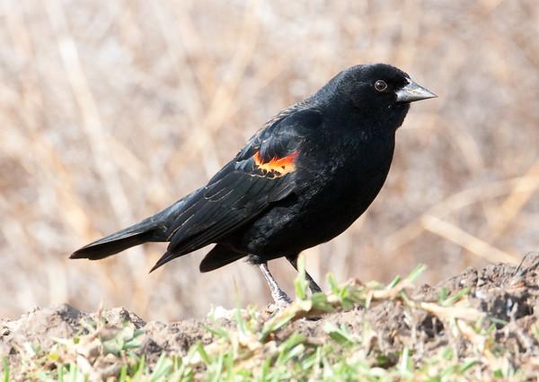 RedWingBlkbird+Ormond_07-12-21-574885061-O