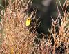 YellowHeadBlkBird_JuneLake_05--578264486-O
