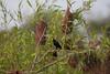 YelRumpCacique+Pantanal_7I2B00-1085790914-O