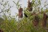 YelRumpCacique+Pantanal_7I2B00-1085791344-O