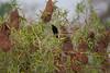 YelRumpCacique+Pantanal_7I2B00-1085790016-O