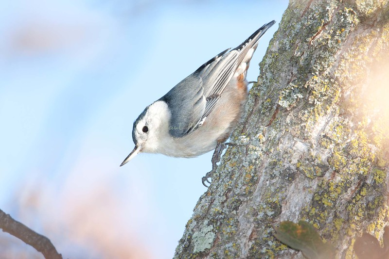 White-breasted Nuthatch-579397808-O